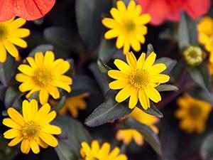 Вирощування квітки санвіталії в саду
