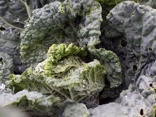 Як саджати і доглядати за савойською капустою