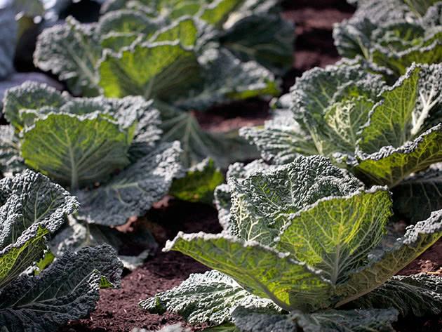 Вирощування савойської капусти у відкритому ґрунті