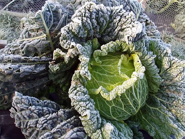 Правила вирощування савойської капусти