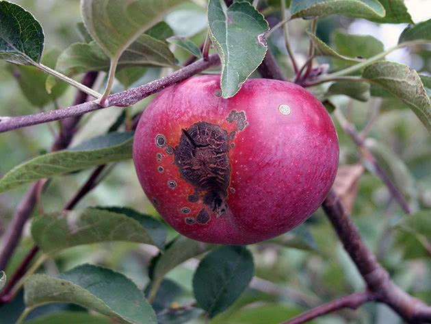 Пархи на яблуні – як боротися