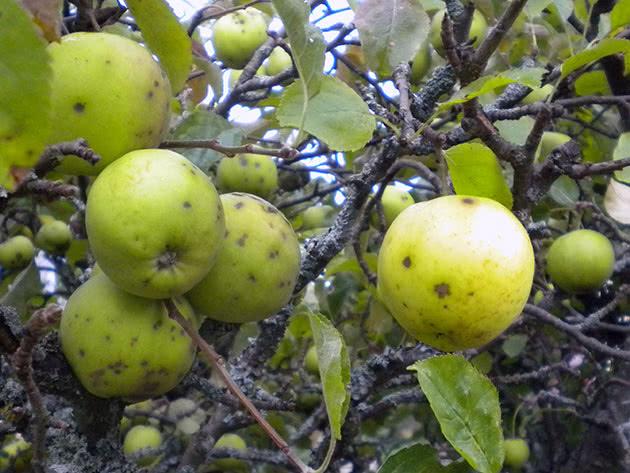 Як позбутися від пархів на яблунях