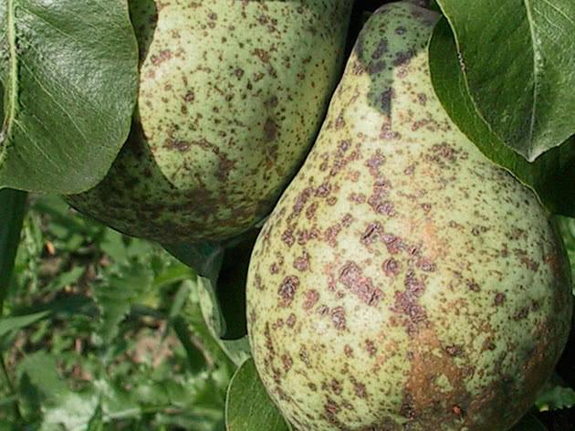 Як боротися з пархами груші