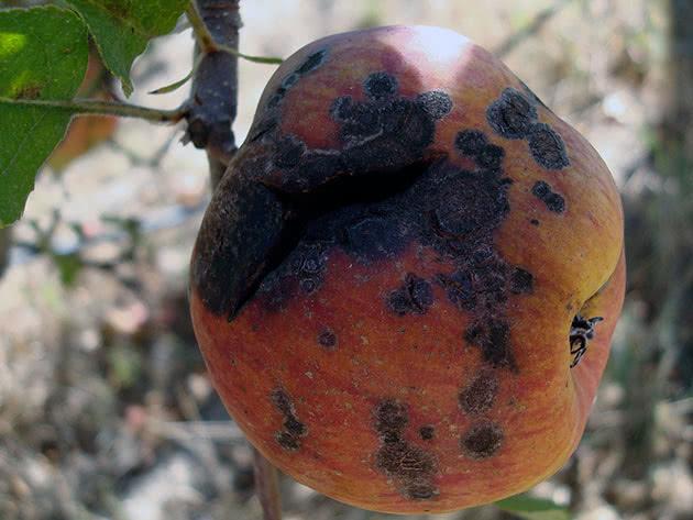 Пархи яблуні – профилактика и лечение