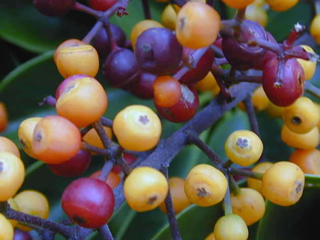 Schefflera berries on the bush