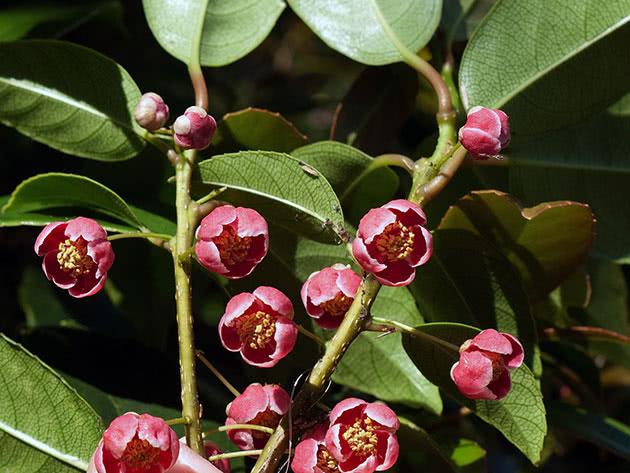 Посадка и уход за лимонником в открытом грунте