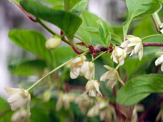 Посадка и уход за лимонником китайским в открытом грунте