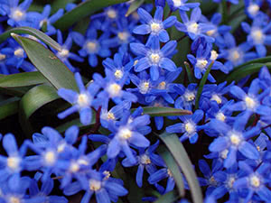 Цветок сцилла или пролеска