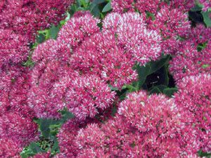Квітка очиток або седум
