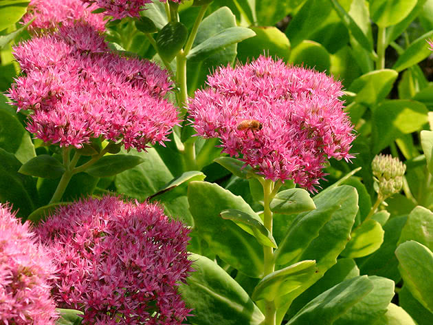 Очиток видатний (Hylotelephium spectabile)
