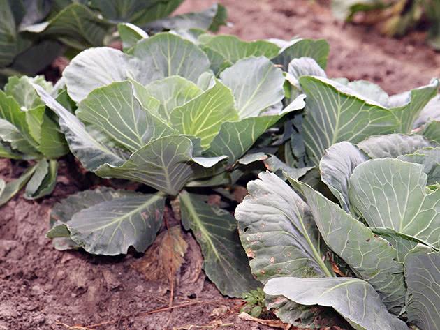 Выращивание рассады капусты в апреле