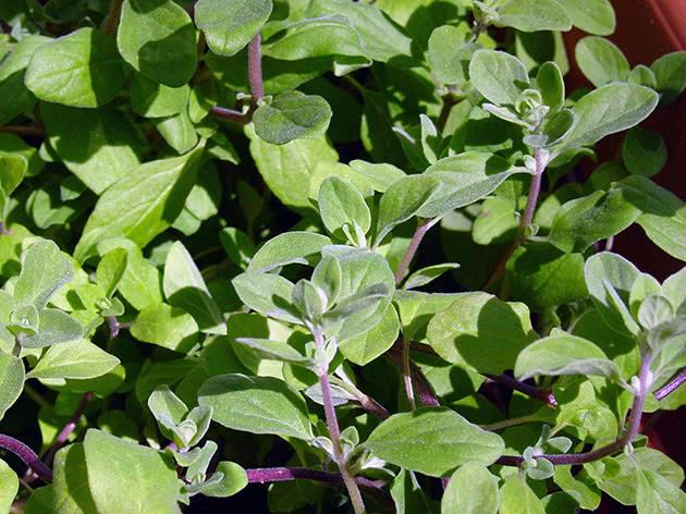 Выращивание рассады майорана в апреле