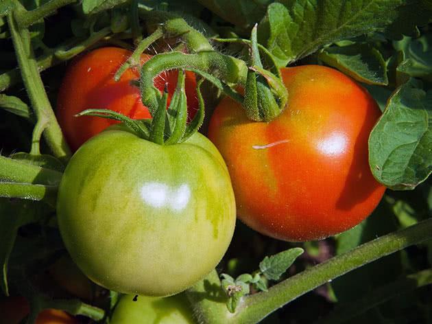 Посів насіння помідорів на розсаду в березні