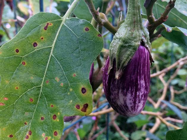Посів насіння баклажанів на розсаду в березні
