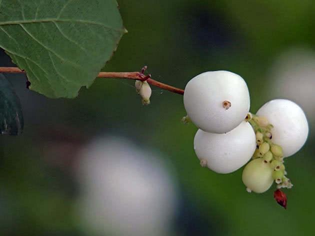 Сніжноягідник білий (Symphoricarpos albus)