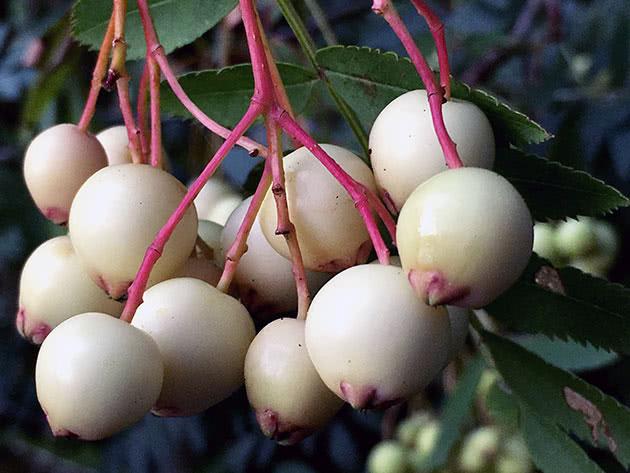 Як саджати і вирощувати горобину звичайну