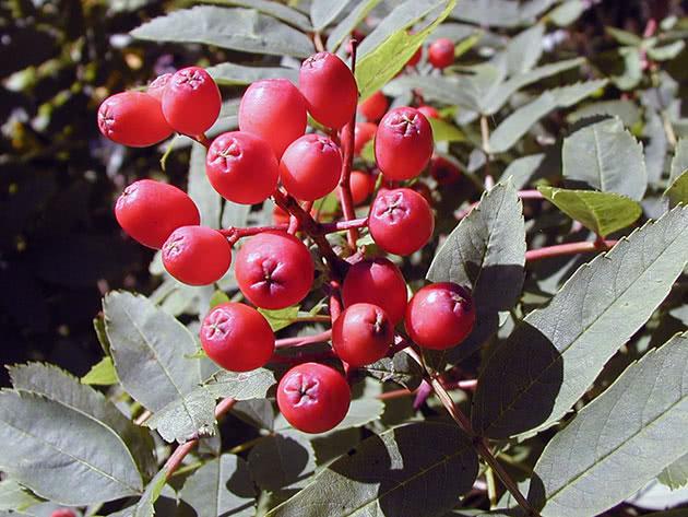 Горобина бузинолиста (Sorbus sambucifolia)