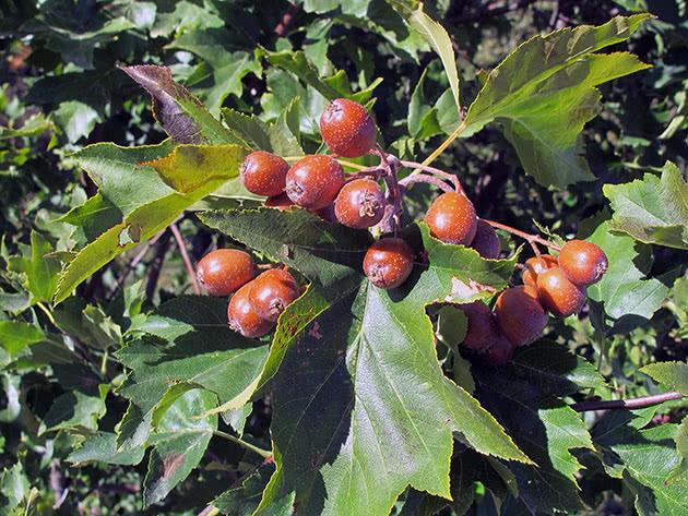 Берека (Sorbus torminalis)