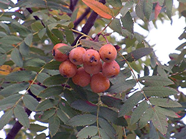 Горобина домашня (Sorbus domestica)