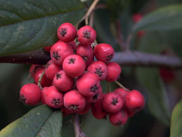 Горобина круглолиста (Sorbus aria)