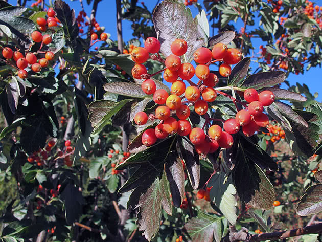 Горобина гібридна (Sorbus x hybrida)