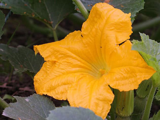 Квітка кабачків