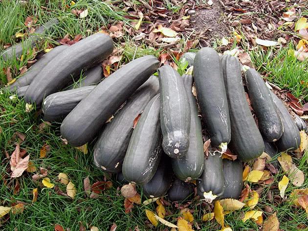Вирощування кабачків із насіння на ділянці