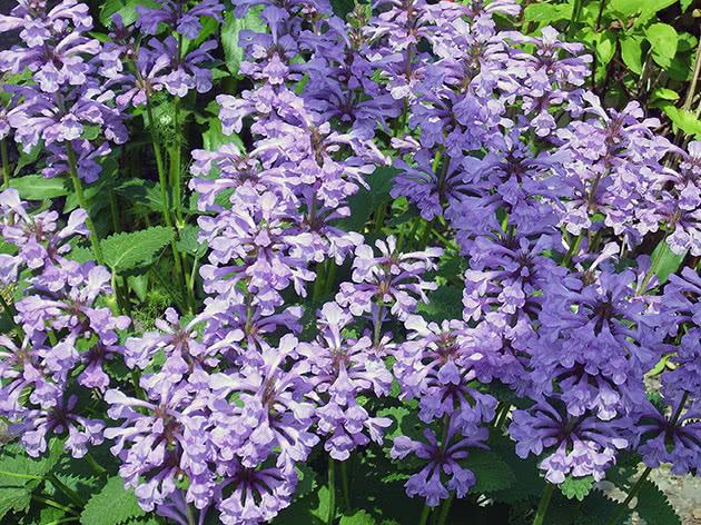 Чистец крупноцветковый (Stachys grandiflora)