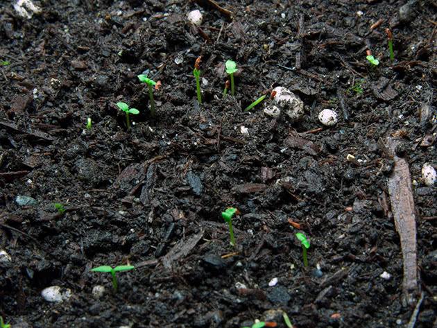 Семена каких растений нуждаются в стратификации