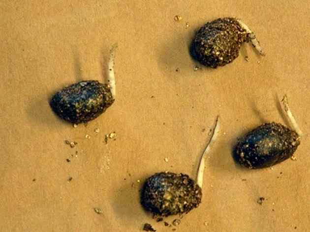 Стратификация семян перед посевом