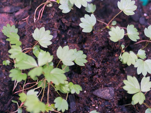Выращивание рассады клубники в домашних условиях