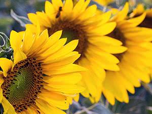 Вирощування соняшника – посадка і догляд