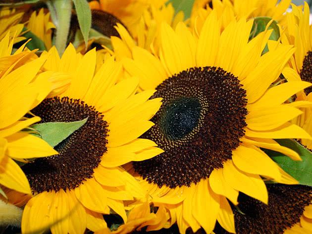 Хвороби і шкідники соняшника