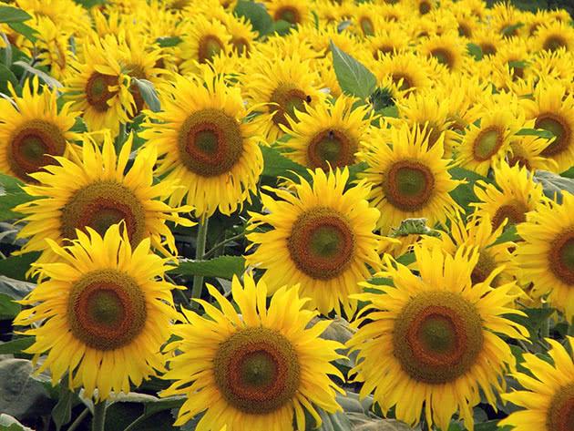 Збирання і зберігання соняшника