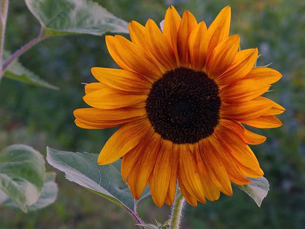 Як доглядати за соняшником
