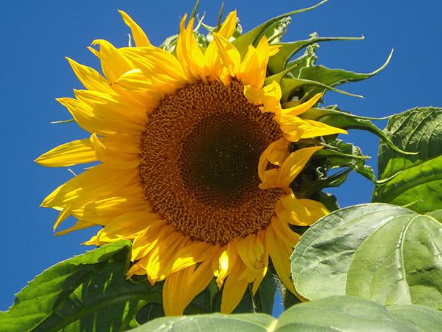 Як вирощувати соняшник