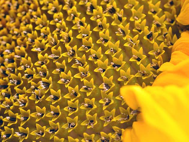 Зберігання насіння соняшника