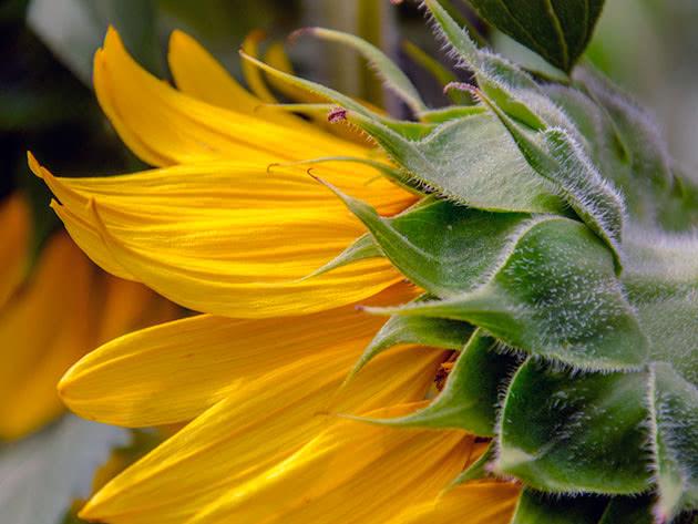Умови вирощування соняшника