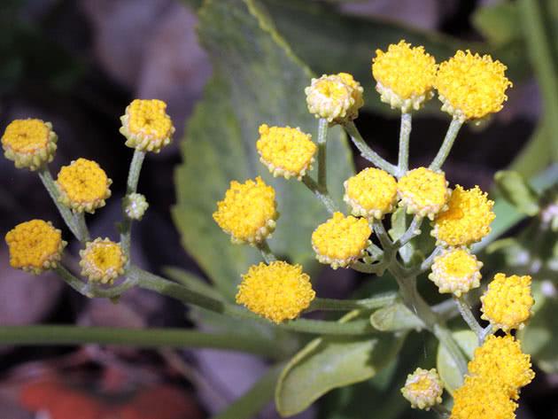 Пижма бальзамическая (Tanacetum balsamita)