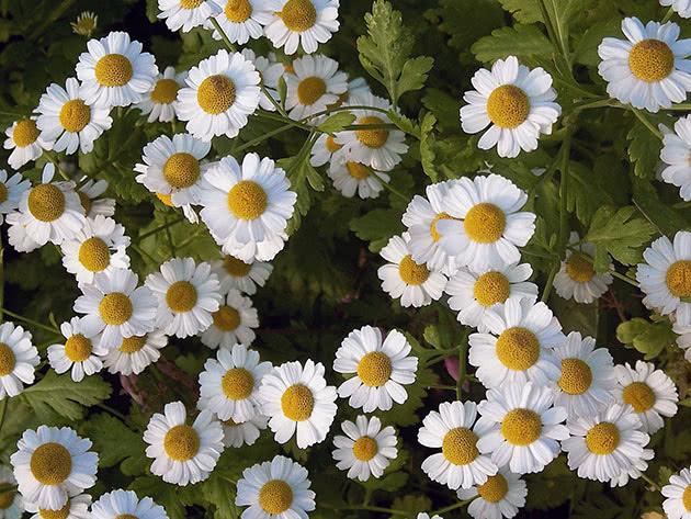 Пижма девичья (Tanacetum parthenium)