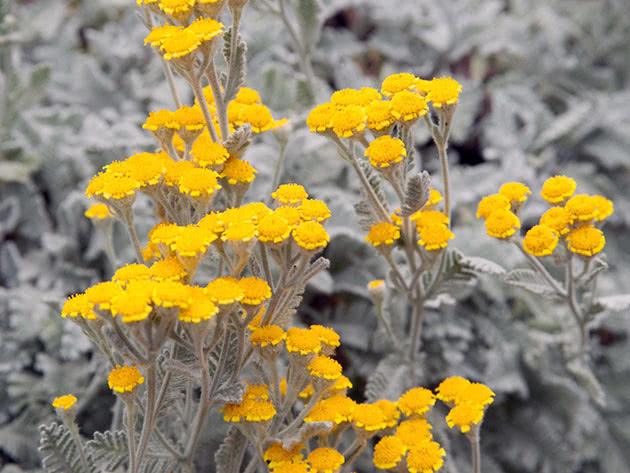 Пижма густая (Tanacetum densum)