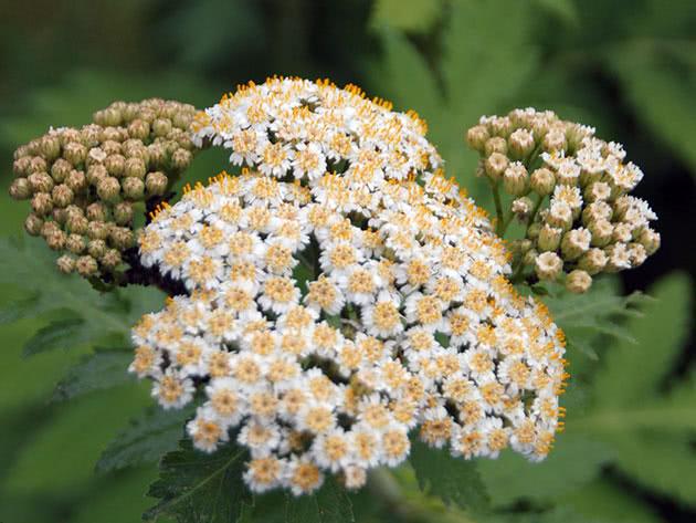 Пижма крупнолистная (Tanacetum macrophyllum)