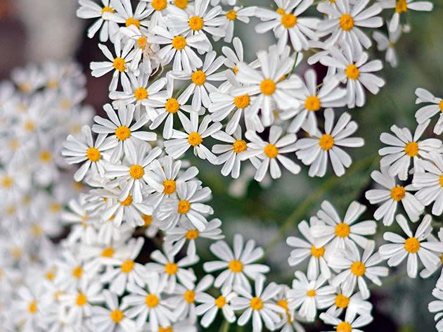Пижма чихательноцветковая (Tanacetum ptarmiciflorum)