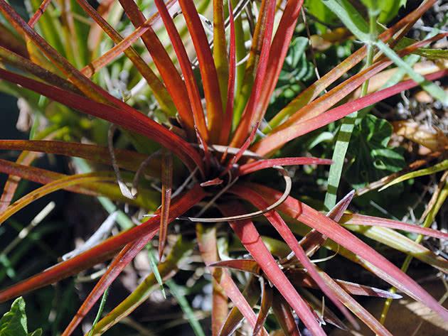 Тілландсія триколірна (Tillandsia tricolor)