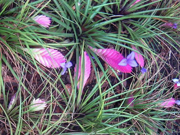 Тілландсія синя (Tillandsia cyanea)