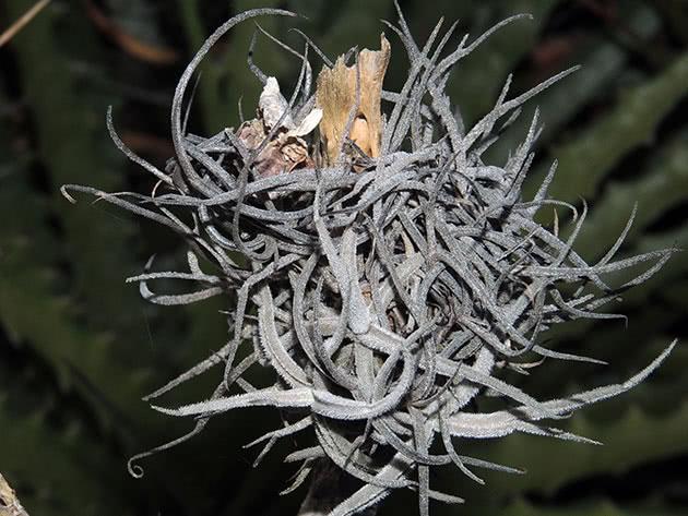 Тілландсія відігнута (Tillandsia recurvata)