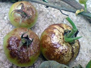 Болезни помидоров и их лечение