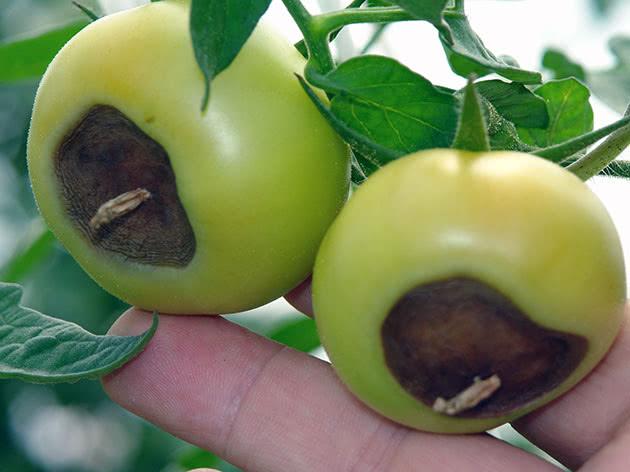 Почему гниют зеленые помидоры