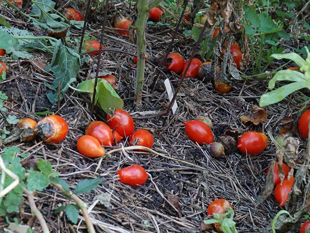 Почему помидоры не осыпаются