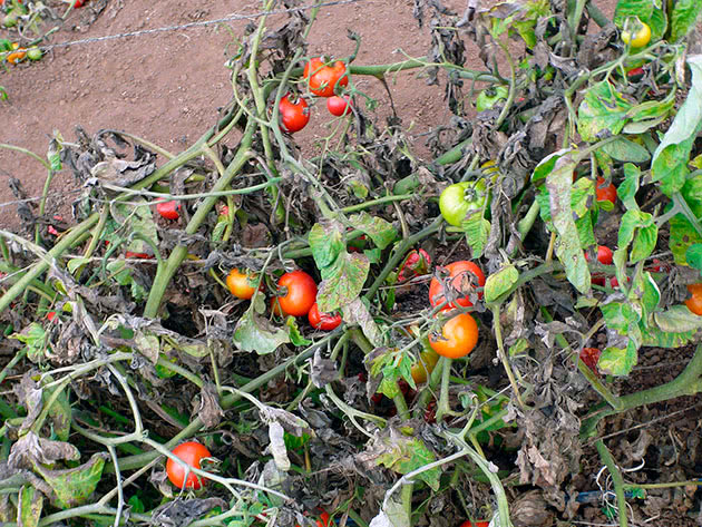 Лечение болезней томатов